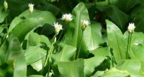 UBIJA SVE VIRUSE, čisti krv, liječi pluća: Travari se kunu u moć ove biljke