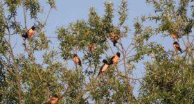 Ružičasti čvorak iz Indije prvi put u Šumadiji: Ljudi dolaze da ih vide, PREDIVNI SU!